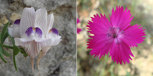 Linaria and Dianthus at El Torcal near antequera