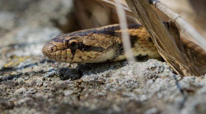 Southern Smooth Snake (Coronella girondica) Culebra Lisa Meridional