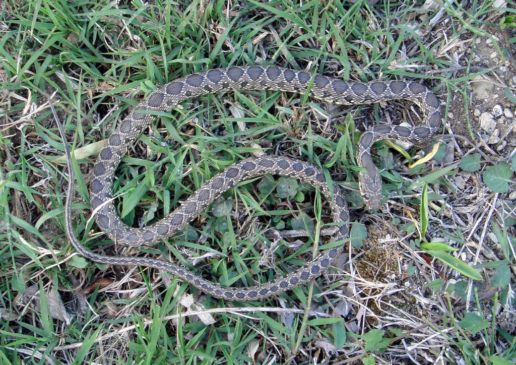 Horseshoe whip snake - Coluber hippocrepis – Culebra de Herradura