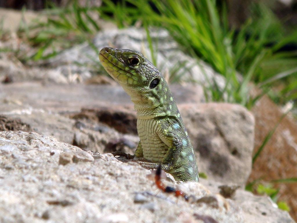 Ocellated lizard (Timon lepidus ibericus(Lacerta lepida)) Lagarto ocelado
