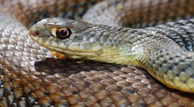 Montpellier Snake (Malpolon monspessulanus) Culebra bastarda