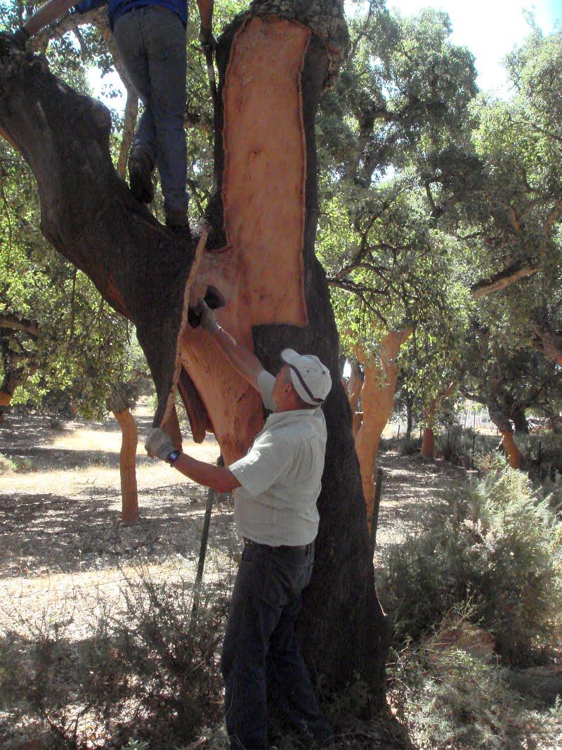 Cork trees in Grazalema, Andalucia, Spain