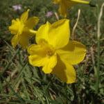 Narcissus-cerrolazae