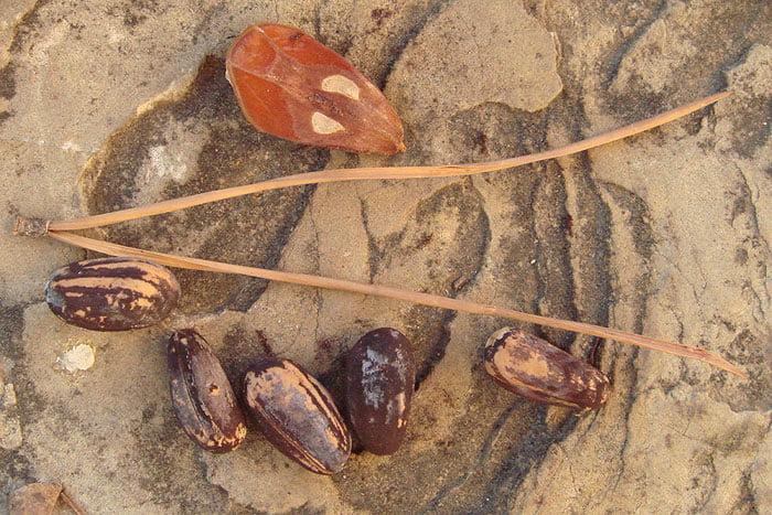 pinus-pinea-seeds