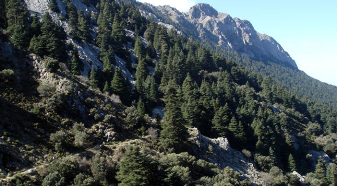 The Spanish Fir (Abies pinsapo) in the Sierra Grazalema
