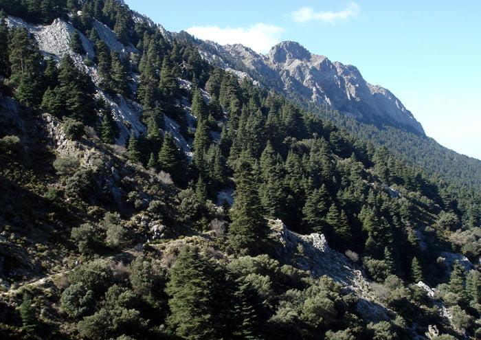 Biospheres in Spain - Abies pinsapo