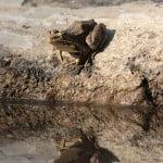 frog-reflection