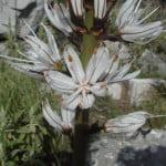 asphodelus-albus