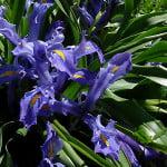 broad-leaved-iris