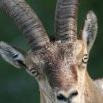 Spanish Ibex Grazalema