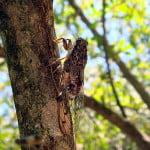 cicada-orni-cicada