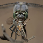 dragonfly-snacking