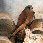 falco-naumanni