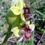 ophrys-bombyliflora