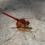 orange-winged-dropwing