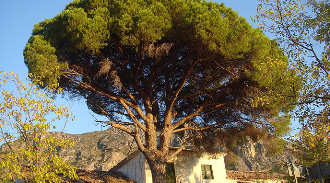 The Stone Pine, an iconic tree of the Mediterranean