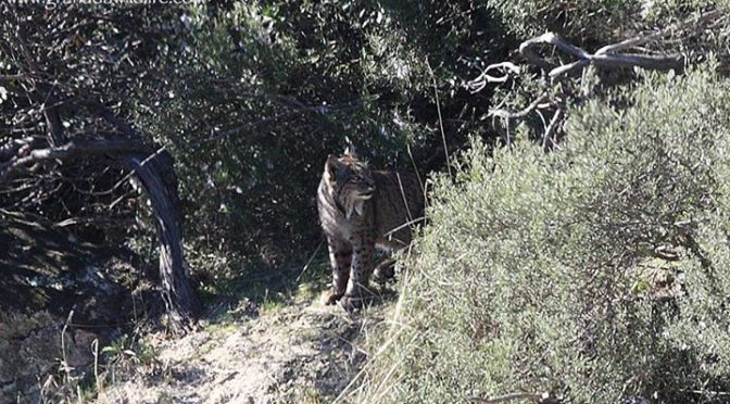 A female Iberian Lynx seen yesterday in Sierra Morena, Jaen Province.