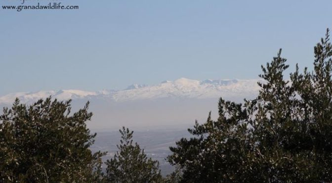 The view of Sierra Nevada from the hill above the house today.