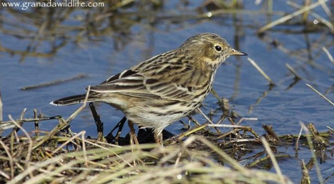 A Meadow Pipit which was feeding along the Arroyo Vilano to the North Of Huétor …