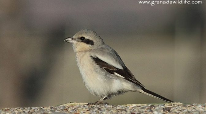 Steppe Grey Shrike (Lanius excubitor pallidirostris) seen today on the Desemboca…