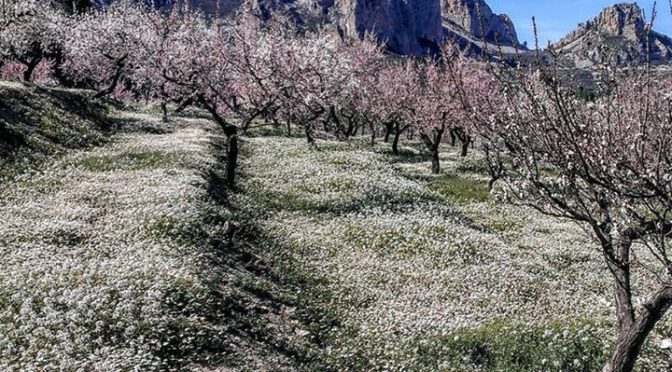 Terraces of almond trees and clover on the return from a run in the Sierra Aitan…