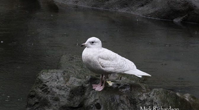 Iceland Gull (Larus glaucoides) on the Ría del Nervión, Bilbao (Vizcaya) (Basque…