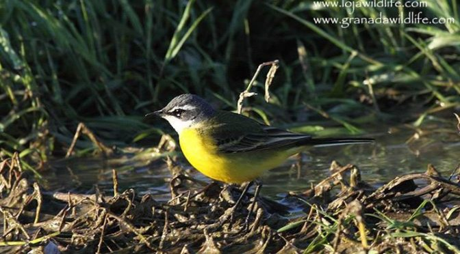A couple of summer arrivals seen on the local patch this morning, there were ple…