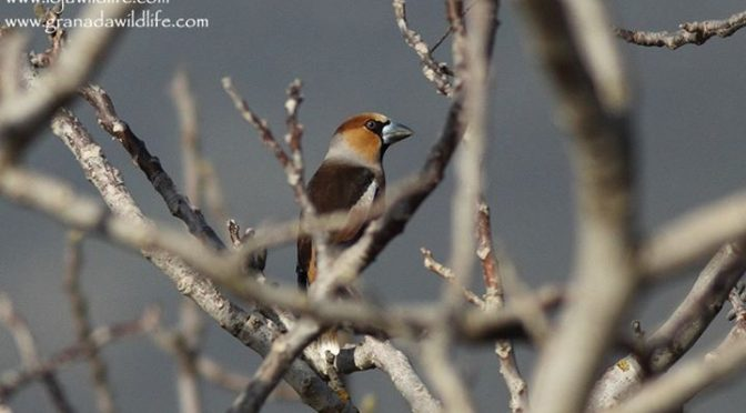 A Pair of Hawfinches seen this morning on the local patch at Huétor Fields, Gran…