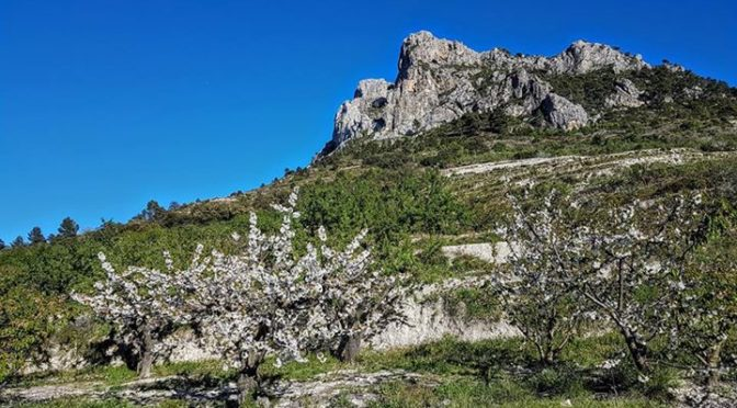 The cherry blossom on the trees in the Costa Blanca mountains will soon be delic…