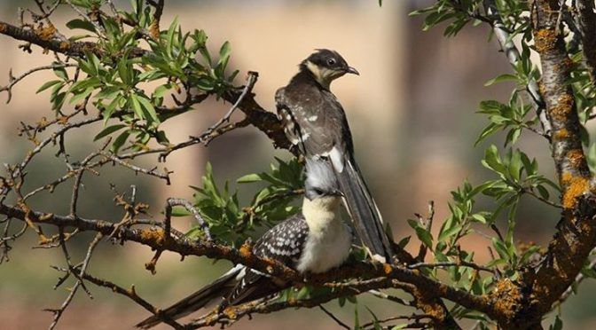 A pair of Great Spotted Cuckoos seen today on the local patch in Granada Provinc…