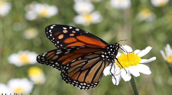 A fine Monarch butterfly seen a couple of weeks ago with Kate and Jim down on th…