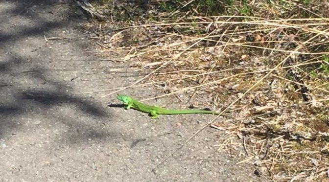 Green lizard seen while out cycling yesterday. These are by far the largest and …