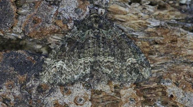Three new species in the garden last night, one I am fairly sure about Dichagyri…