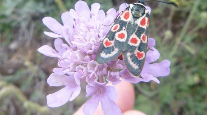 We found this very pretty Provence Burnet moth whilst hiking on Santa Erosia mou…