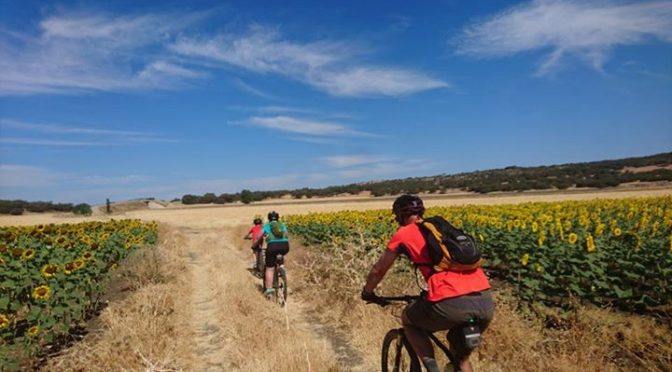Riding through the Sunflowers on one of out alternative MTB routes to Setenil de…