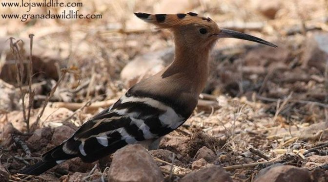 A confiding Hoopoe (Abubilla / Upupa epops) seen yesterday on the fields in Gran…