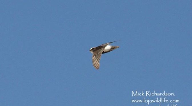 Photographs from our first day down in Cadiz Province. The Red-necked Phalarope …