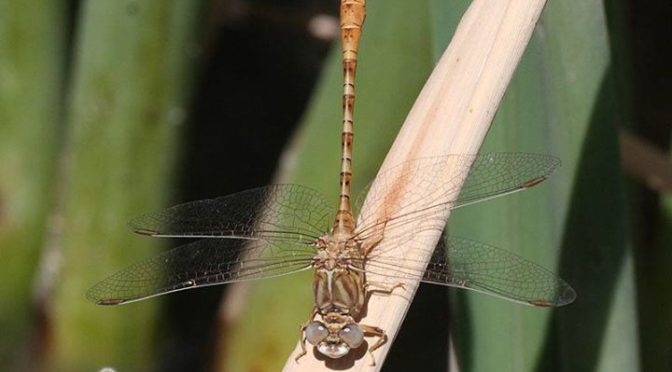 Faded Pincertails and Ringed Cascaders on the Guadalhorce, Malaga Province last …