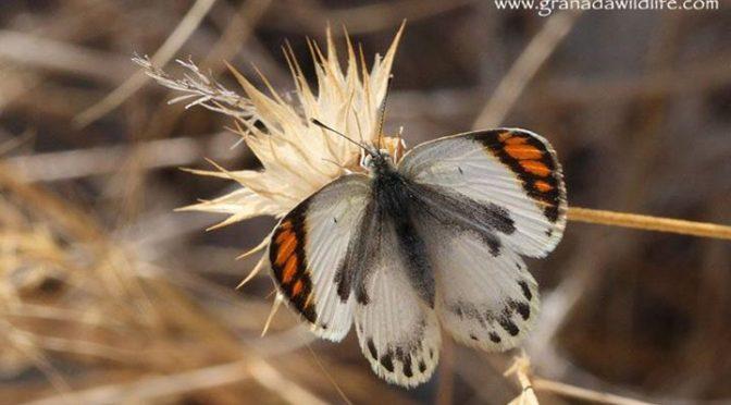 A couple of Desert Orange-tip (Colotis evagore) butterflies seen down on the coa…