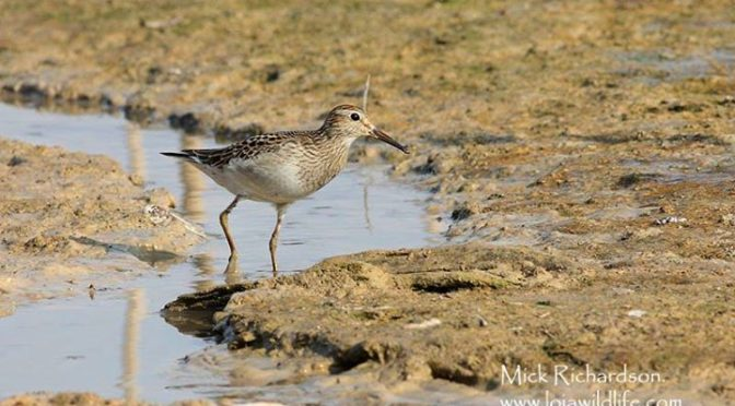 A Pectoral Sandpiper seen today at Embalse de Cubillas near Granada, another Spa…