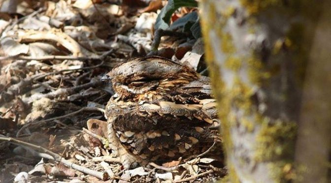 A roosting Red-necked Nightjar seen a few days ago at La Janda with Sharon and J…