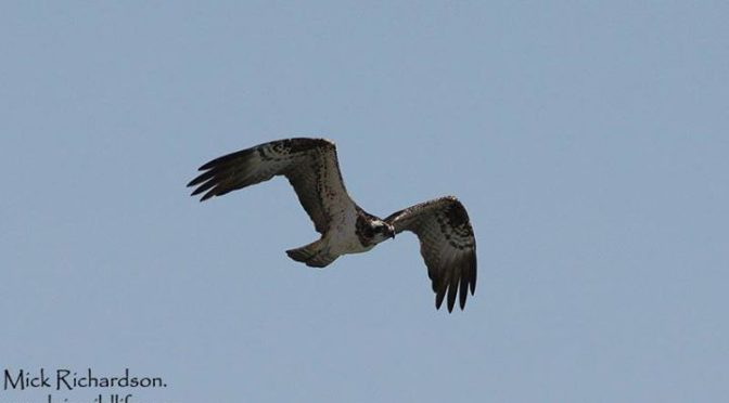 The Osprey did not fish but spent a while just dragging its feet through the wat…