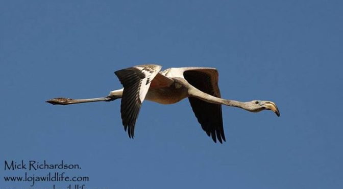 An immature Greater Flamingo seen today and a few days ago in the Cacín Valley, …