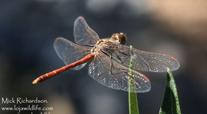 Desert Darter (Sympetrum sinaiticum) and Orange-winged Dropwing (Trithemis kirby…