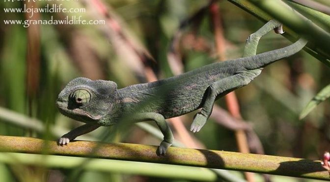 A couple of Mediterranean Chameleons (Chamaeleo chamaeleon) seen yesterday at Ch…
