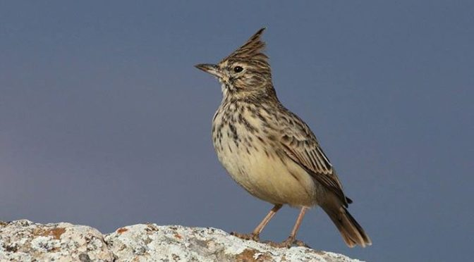 A very smart Thekla Lark which sat beside the car on Sierra de Loja, Granada Pro…