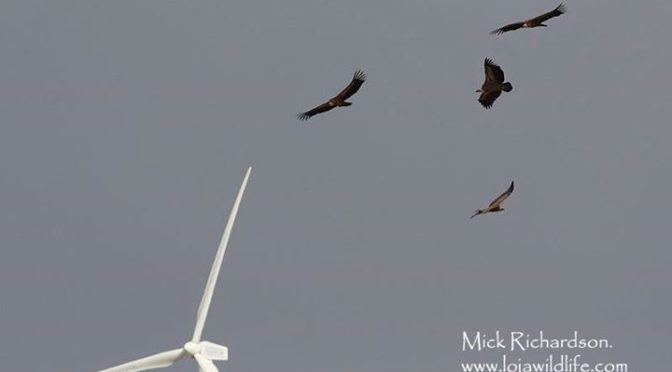 Some shots of the 20+ Griffon Vultures which crossed Sierra de Loja on Thursday …