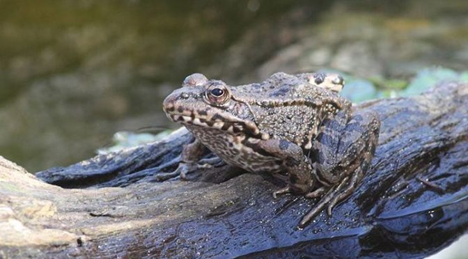 The Perez's Frogs also sat out sun bathing and showed well.