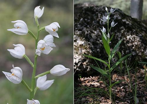 Narrow-leaved Helleborine (Cephalanthera longifolia)