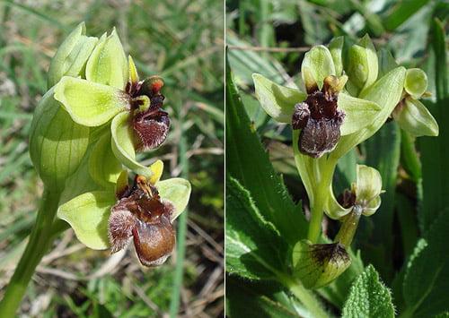 Bumblebee Orchid (Ophrys bombyliflora) Orquídea abejorro